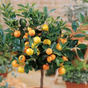 Calamondin Mini Citrus Tree - Dobies