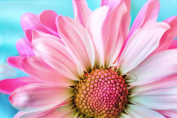 pink flower on blue background